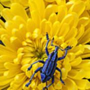 Blue Bug On Yellow Mum Art Print