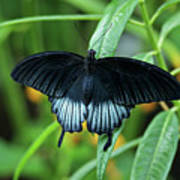 Blue Butterfly II Art Print