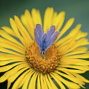 Blue Butterfly On Alpine Sunflower Art Print