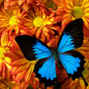 Blue Butterfly On Mums Art Print
