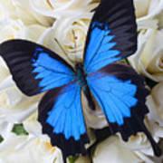 Blue Butterfly On White Roses Art Print