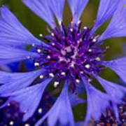 Blue Cornflower Art Print