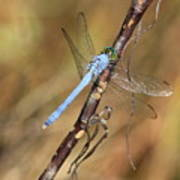 Blue Dragonfly Portrait Art Print by Carol Groenen