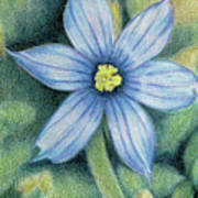 Blue Eyed Grass - 1 Art Print