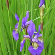 Blue Flag Iris-1  Art Print