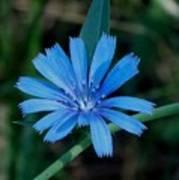 Blue Chicory Flower Art Print