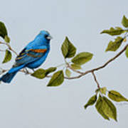 Blue Grosbeak Art Print