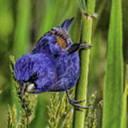 Blue Grosbeak On A Reed Art Print