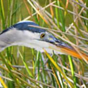 Blue Heron Hunting Art Print
