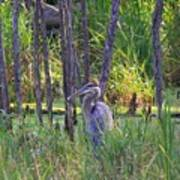 Blue Heron-in The Swamp Art Print