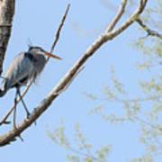 Blue Heron In Tree Art Print