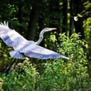 Blue Heron On The Move Art Print