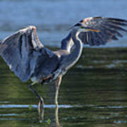 Blue Heron Show-off Art Print