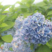 Blue Hydrangea At Rainy Garden In June, Japan Art Print