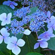 Blue Hydrangea Flowers Floral Art Baslee Troutman Art Print