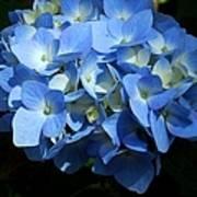 Blue Hydrangea II Art Print