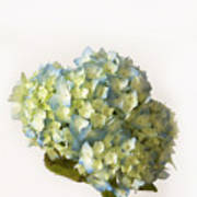 Blue Hydrangea Spray Art Print