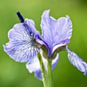 Blue Iris Germanica Art Print by Frank Tschakert