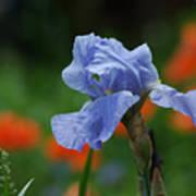 Blue Iris Art Print