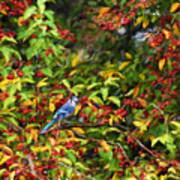 Blue Jay And Berries Art Print