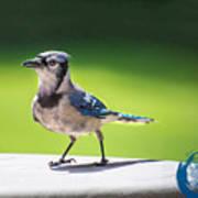 Blue Jay Walk Art Print