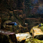 Blue Little Fish In Aquarium Art Print