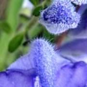 Blue Lupine Flower 1 Of 5 Shots Art Print