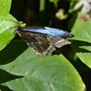 Blue Morpho Among The Leaves Art Print