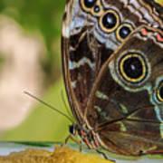 Blue Morpho Butterfly Morpho Peleides  Art Print