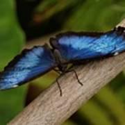 Blue Morpho Butterfly Art Print by Sandy Keeton