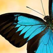 Blue Morpho Closeup Art Print