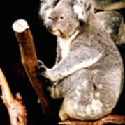 Blue Mountains Koala Art Print by Darren Stein