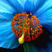 Blue Poppy II - Closeup Art Print