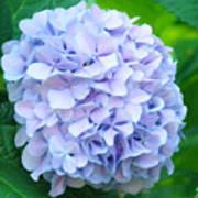 Blue Purple Hydrandea Floral Art Botanical Prints Canvas Art Print