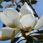 Blue Skies Magnolia Art Print