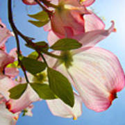 Blue Sky Floral Art Pink Dogwood Tree Flowers Art Print