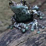 Blue Tree Frog Art Print