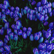 Blue Tulips Art Print