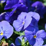 Blue Violets Art Print