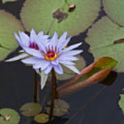 Blue Water Lilies Of Belize Art Print