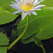 Blue Water Lily Art Print