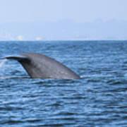 Blue Whale Tail Flop Art Print