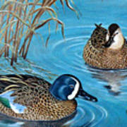 Blue-winged Teals Art Print