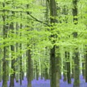 Bluebell Wood Art Print