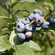 Blueberries On Blueberry Bush Art Print