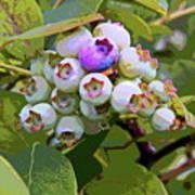 Blueberries On The Vine 7 Art Print