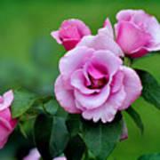Blueberry Hill Roses Art Print