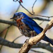 Bluebird In May Art Print