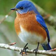 Bluebird On Branch Art Print