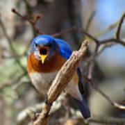 Bluebird Temper Art Print